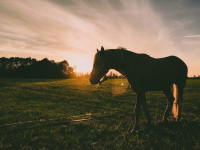 Silhouette of a horse in a field at sunset